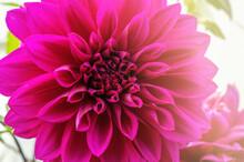 Wunderschöne Blüte Einer Lil...