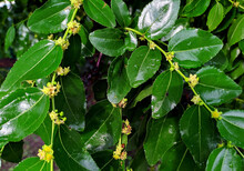 Green Fresh Leaves With Small Yellow Petal Flowers Closeup. Nature Outdoor Photography For Background Image Or As Plant Texture