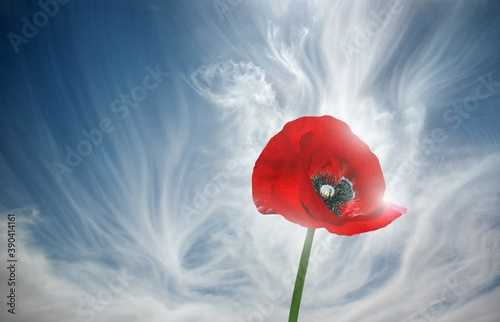 Fototapeta red poppy against sky