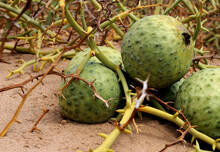 Narra Plants In The In The Namib Desert Is An Invaluable Source Of Moisture And Food For The Locals