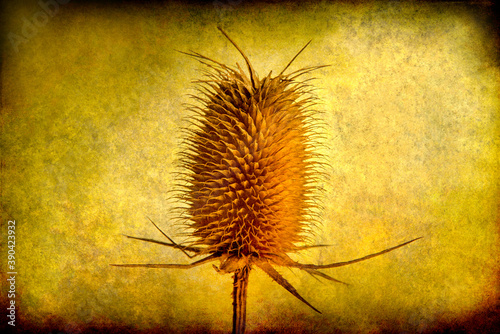 Fotografija Dried up thistle on a grunge background