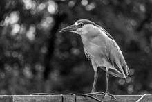 Crowned Night Heron