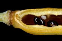 Greater Celandine (Chelidonium Majus). Seed Closeup