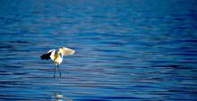 Great Egret On A Lake Prespa I...