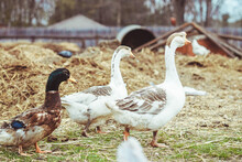 Goose Walks Around The Yard