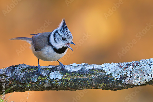 Crested tit perched on a branch Canvas Print