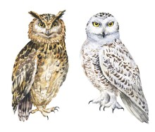 Watercolor Eagle And Snowy Owls On White Background. Hand Drawn Watercolour Bird, Wild Life Illustration.