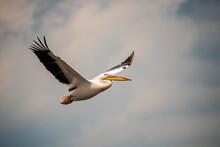 Wild Pelican In Danube Delta