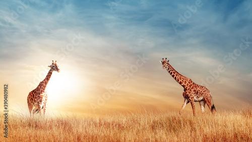 Giraffe in the African savanna at beautiful sunset. Serengeti National Park. Tanzania. Africa. Copy space.