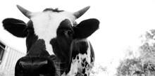 Curious Longhorn Calf With Hor...
