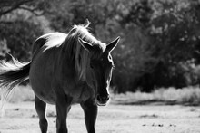Rustic Mare Horse Portrait Fro...