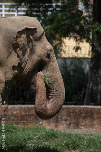 Foto captive feeding indian elephant