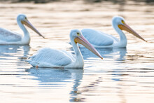 White Pelicans Swimming As A Group Along The Reflective Pond Surface To The Right As Sunrise Illuminates The Water.