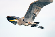 Great Blue Heron Spreads Huge ...