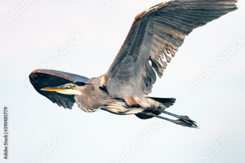 Slika na platnu Great Blue Heron spreads huge wingspan wide as he flies across the esturary to the left