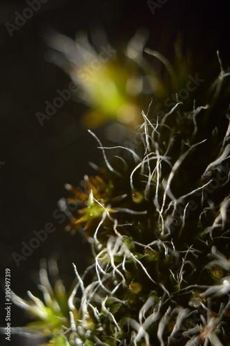Fototapeta Different species of moss – różne mchy – Trójmiejski Park Krajobrazowy obraz