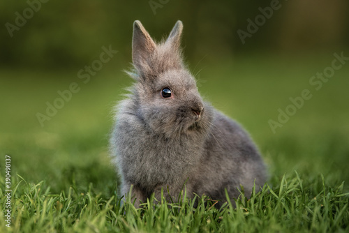 Miniature blue color lionhead breed rabbit sitting on the lawn in summer Fototapet