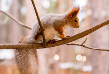 Gray Squirrel On A Tree In The...