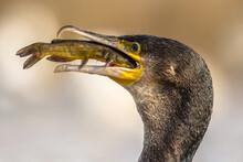 Great Cormorant Eating Bullhead Fish