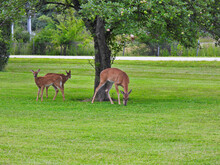 Two White-Tailed Deer Fawns Join Their Mother Doe And Take Advantage Of Fallen Crab Apples Under The Tree On The Roadside On A Summer Morning