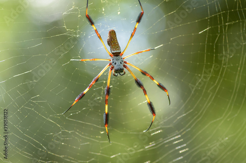 Golden Silk Spider ,Nephila clavipes Canvas Print