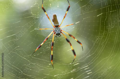 Obraz na plátne Golden Silk Spider ,Nephila clavipes