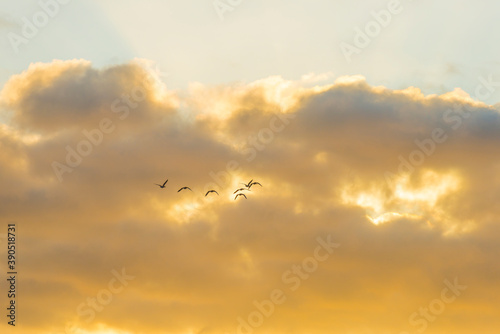 Geese flying in a colorful sky at sunrise in a bright early morning at fall, Alm Canvas Print