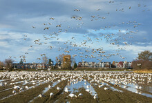 Snowgeese Landing Richmond BC....