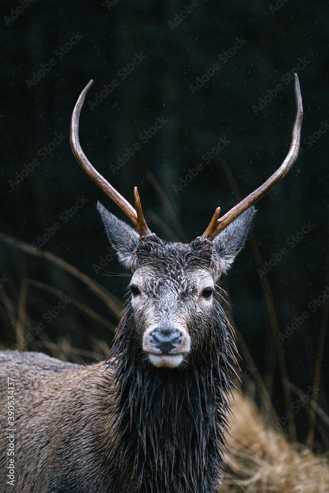 Fototapeta Deer at the Glen Etive, Scotland