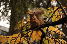 A Squirrel Playing In An Autum...