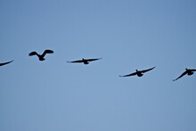 Canada Geese At South East Cit...