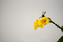 Close-up Of Insect Bee Is Flyi...