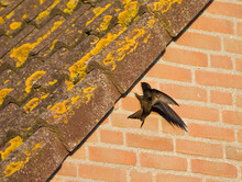 Gierzwaluw, Common Swift, Apus Apus