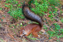 Red Squirrel With A Bushy Tail...