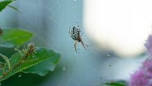 Spider On A Web On A Bush In T...