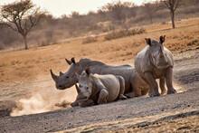 White Rhinoceros, Ceratotherium Simum,Square-lipped Rhinoceros, Khama Rhino Sanctuary, Serowe, Botswana, Africa