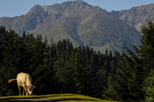Cow Grazing In The French Alps...