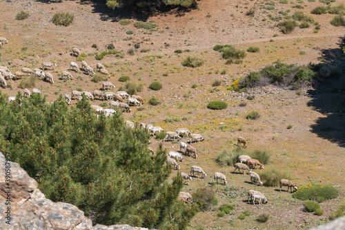 Photo sheep grazing in Sierra Nevada