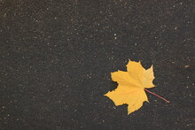 Yellow Maple Leaf In Autumn On...