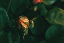 Macro Of An Orange Rosebud With An Unfocused Background