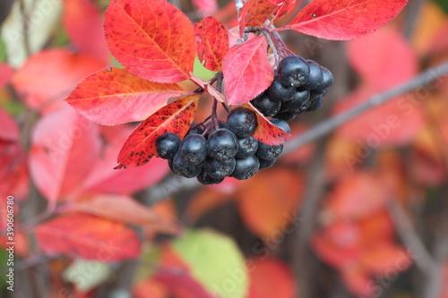 Fotografie, Obraz Black chokeberry