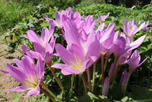Group Of Purple Autumn Crocus (colchicum Autumnale)