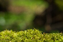 Green Forest Background With A White Fork Moss Leucobryum