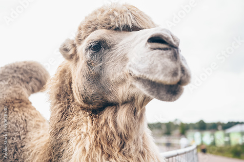 Photo Close up funny Bactrian camel in Karelia zoo