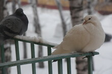 Two Pigeons Sitting At The Rai...
