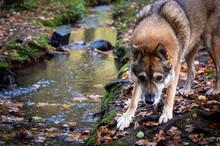 Czechoslovakian Wolfhound Stan...