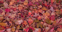 Background From Fallen, Dry, Multi-colored Leaves.
