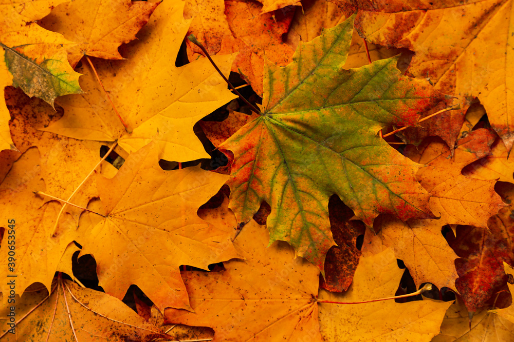 Fototapeta Top view of dry autumn leaves on ground as background
