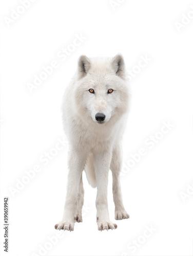 Leinwand Poster Polar white wolf isolated on white background..