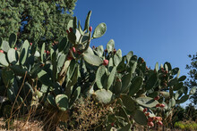 A Prickly Pear Cactus,  Red Sabra Fruit, A Genus In The Cactus Family As Seen On Mount Canaan In Upper Galilee, Northern Israel, Israel.